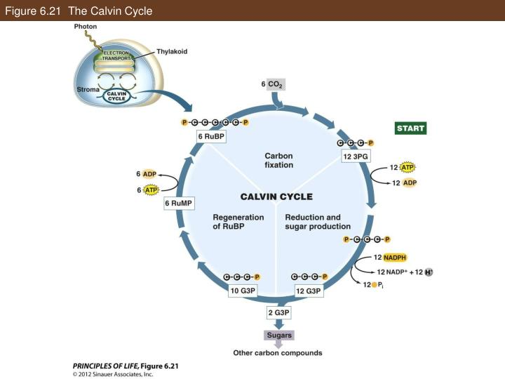 Figure 6.21  The Calvin Cycle