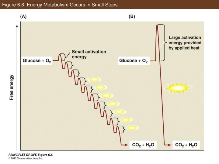 Figure 6.8  Energy Metabolism Occurs in Small Steps