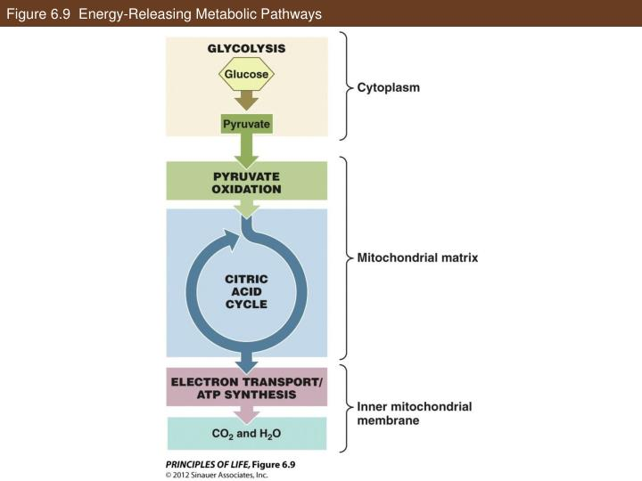Figure 6.9  Energy-Releasing Metabolic Pathways
