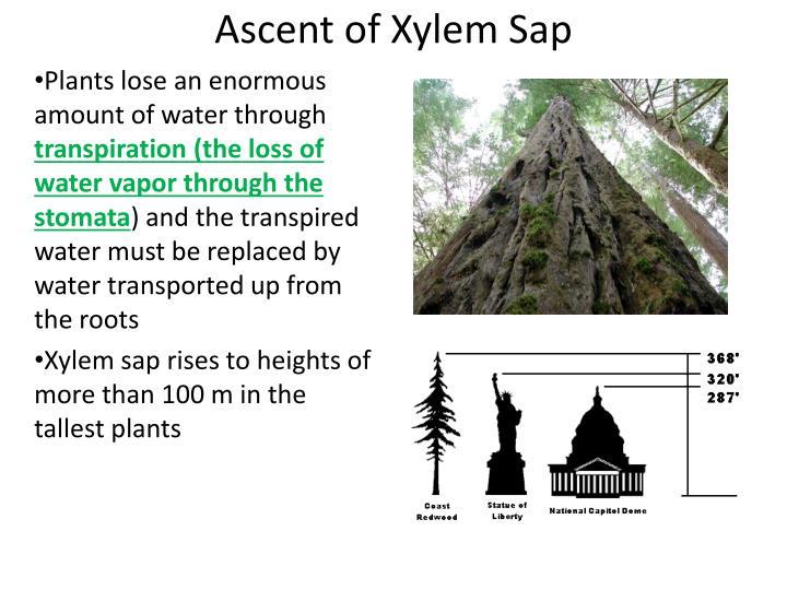Ascent of Xylem Sap