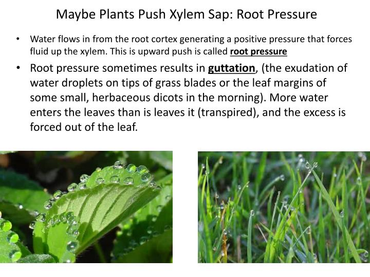 Maybe Plants Push Xylem Sap: Root Pressure