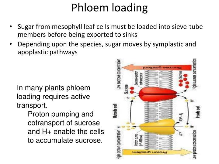 Phloem loading