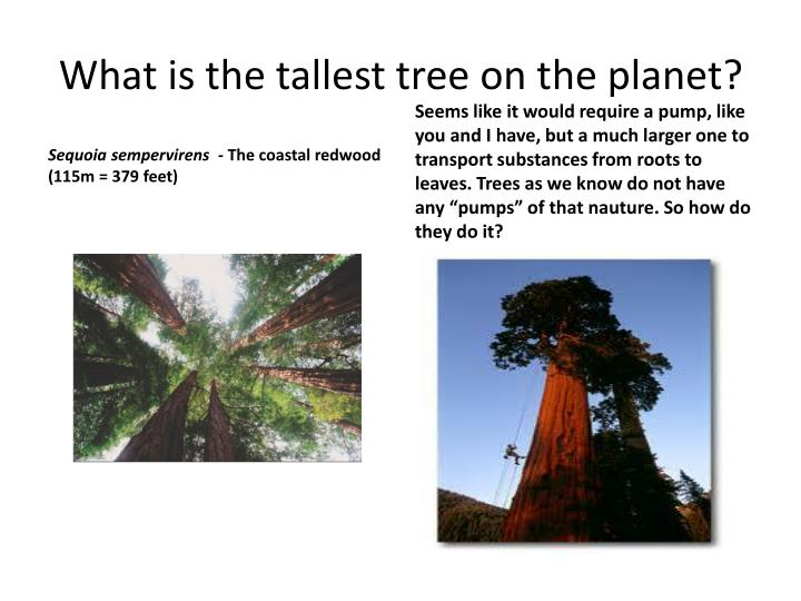 What is the tallest tree on the planet?