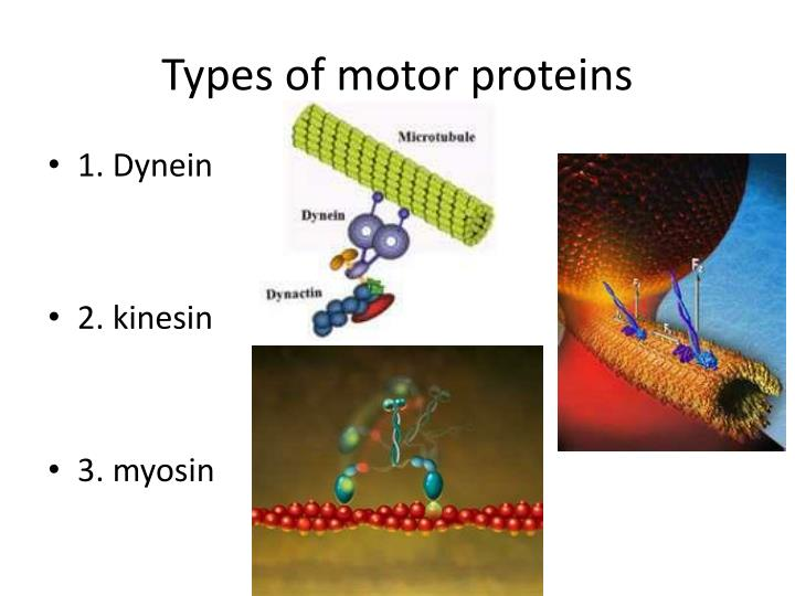 Types of motor proteins