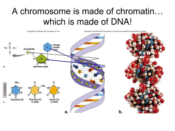 dna chromatin chromosomes relationship goals