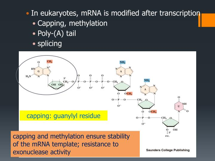 In eukaryotes, mRNA is modified after transcription