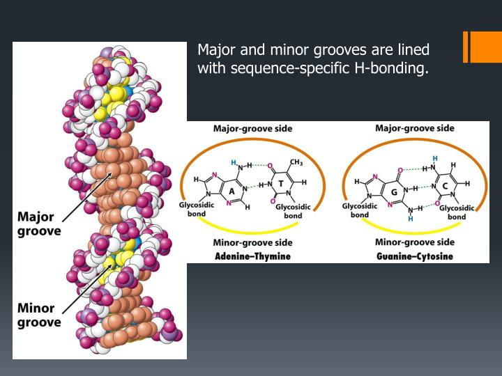 Major and minor grooves are lined with sequence-specific H-bonding.