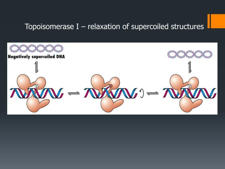 Topoisomerase I – relaxation of supercoiled structures