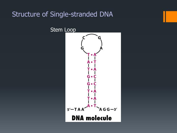 Structure of Single-stranded DNA