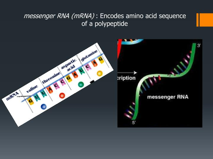 messenger RNA (mRNA)