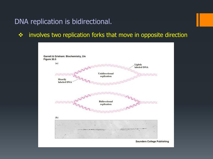 DNA replication is bidirectional.