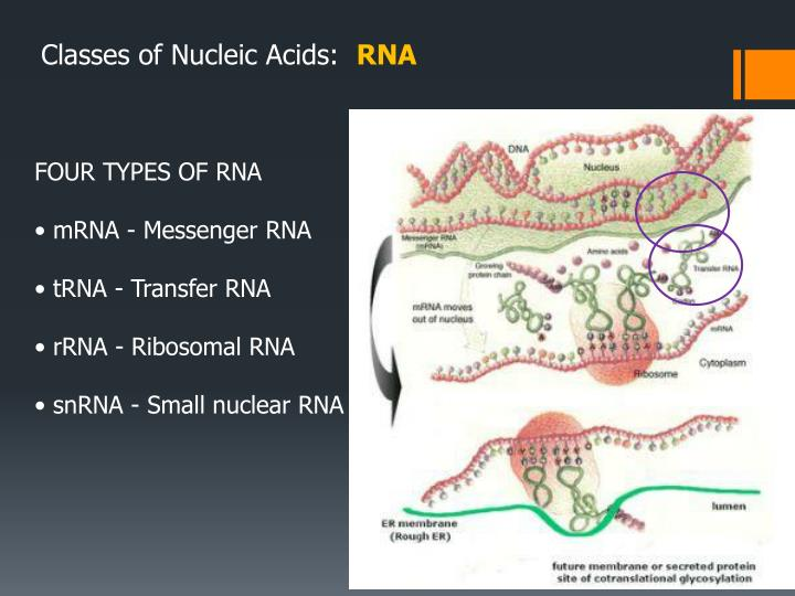 Classes of Nucleic Acids: