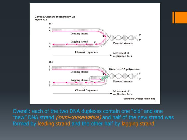 "Overall: each of the two DNA duplexes contain one ""old"" and one ""new"" DNA strand"