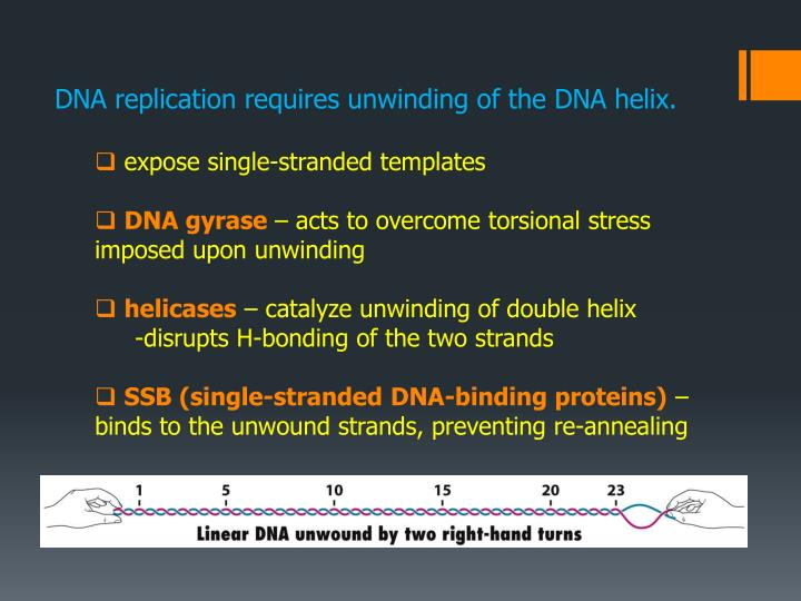 DNA replication requires unwinding of the DNA helix.