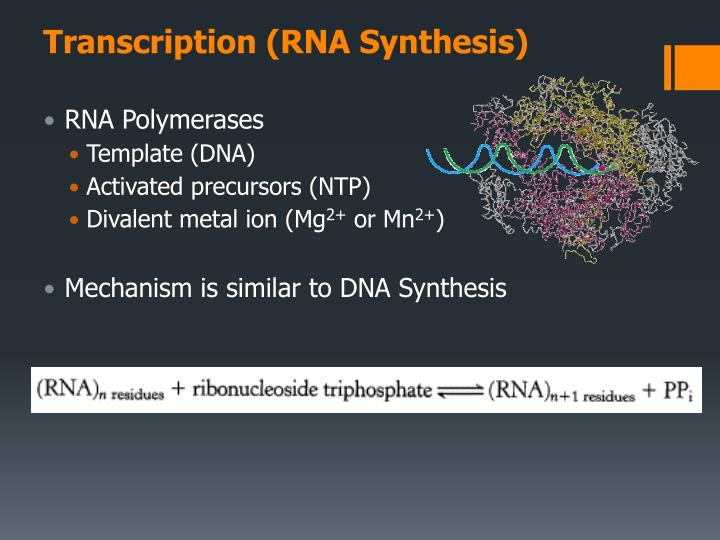 Transcription (RNA Synthesis)