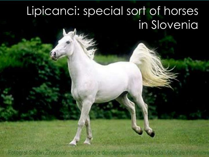 Lipicanci: special sort of horses in Slovenia