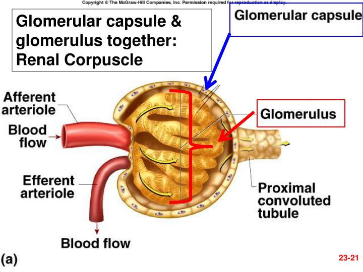 Glomerular capsule & glomerulus together: Renal Corpuscle