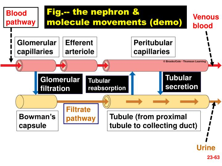 Fig.-- the nephron & molecule movements (demo)