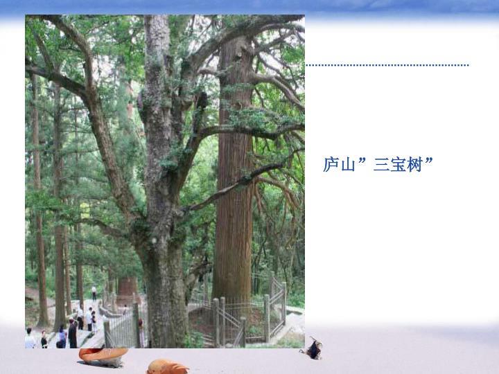 """庐山""""三宝树"""""""