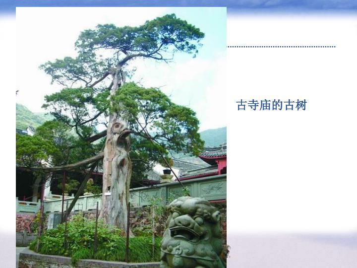 古寺庙的古树