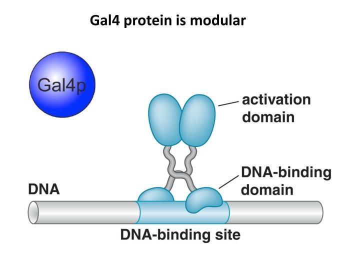 Gal4 protein is modular