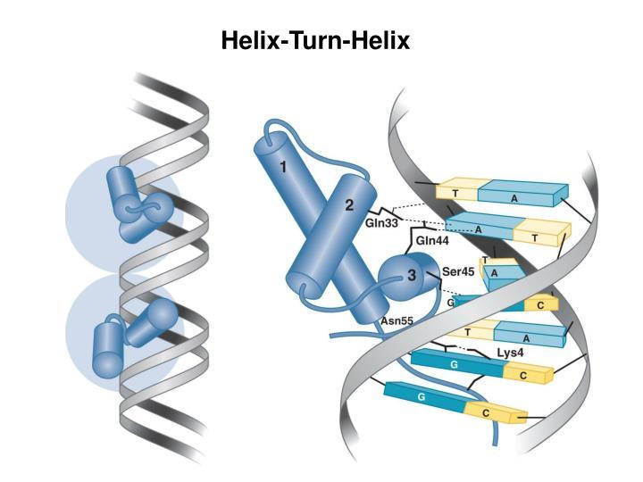 Helix-Turn-Helix