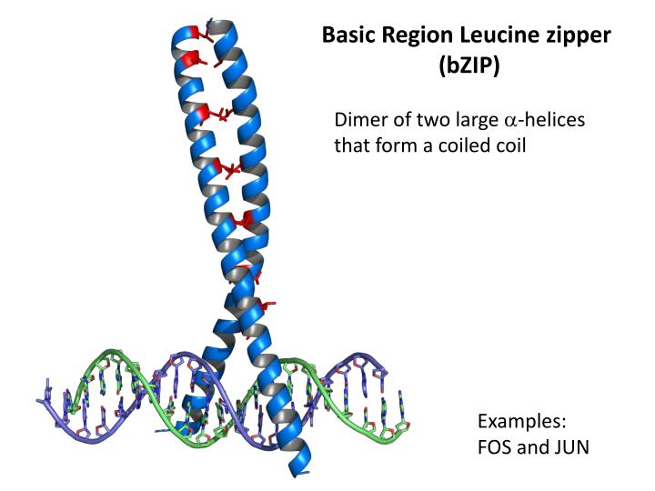 Basic Region Leucine zipper