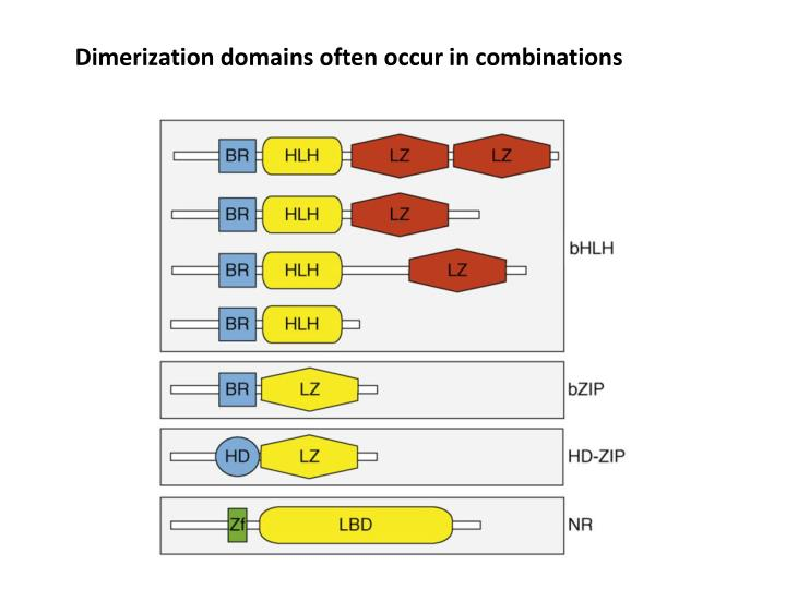 Dimerization domains often occur in combinations