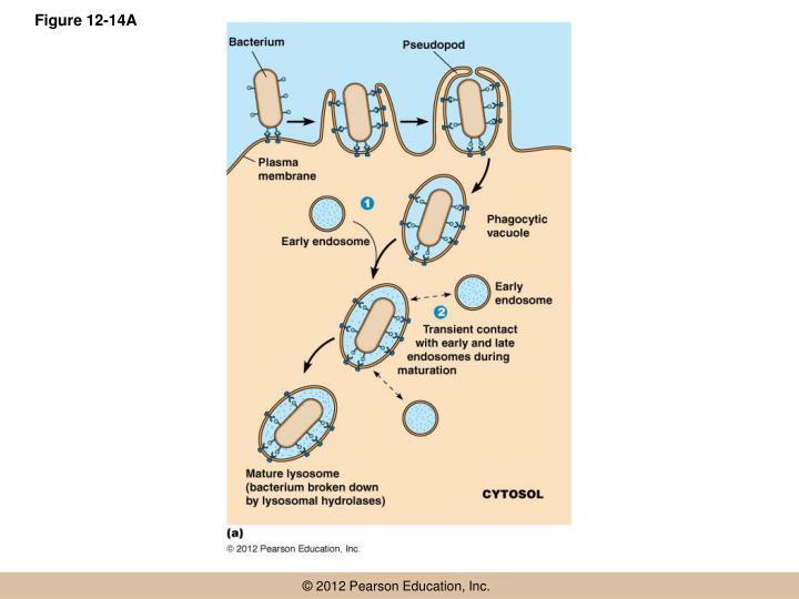 Figure 12-14A