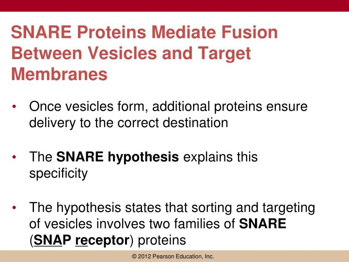 SNARE Proteins Mediate Fusion Between Vesicles and Target Membranes