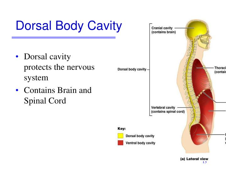 Dorsal cavity protects the nervous system
