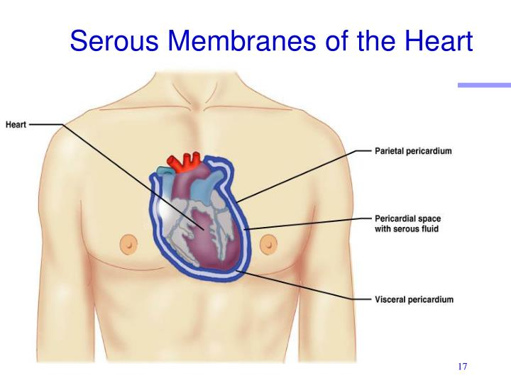Serous Membranes of the Heart