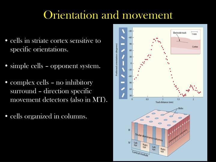 cells in striate cortex sensitive to specific