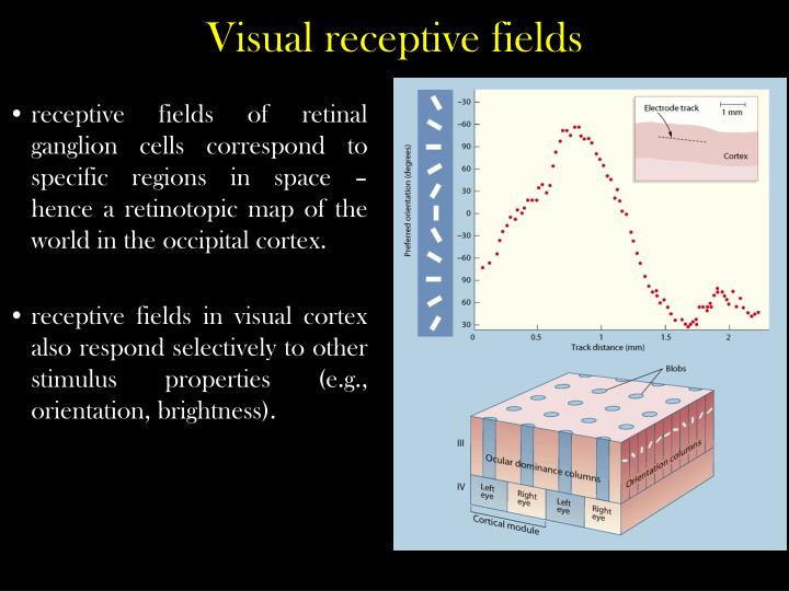 receptive fields of retinal ganglion cells correspond to specific regions in space – hence a