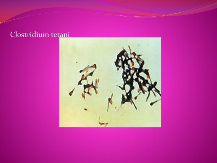 Clostridium tetani