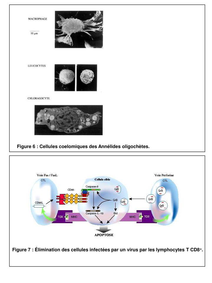 Figure 6 : Cellules coelomiques des Annélides oligochètes.
