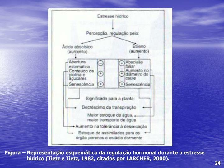 Figura – Representação esquemática da regulação hormonal durante o estresse hídrico (Tietz e Tietz, 1982, citados por LARCHER, 2000).