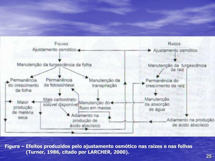 Figura  Efeitos produzidos pelo ajustamento osmtico nas razes e nas folhas (Turner, 1986, citado por LARCHER, 2000).