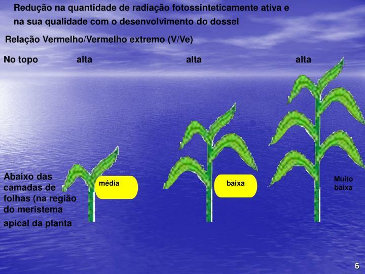 Redução na quantidade de radiação fotossinteticamente ativa e na sua qualidade com o desenvolvimento do dossel