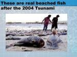 these are real beached fish after the 2004 tsunami