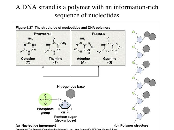 A DNA strand is a polymer with an information-rich sequence of nucleotides