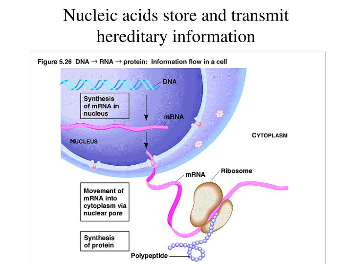 Nucleic acids store and transmit hereditary information