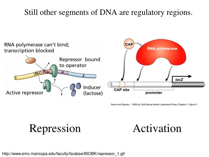 Still other segments of DNA are regulatory regions.