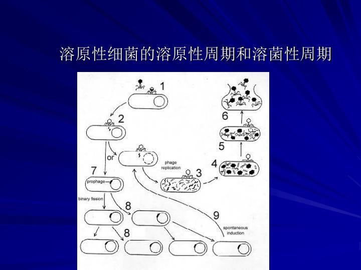 溶原性细菌的溶原性周期和溶菌性周期