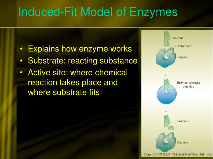 Induced-Fit Model of Enzymes