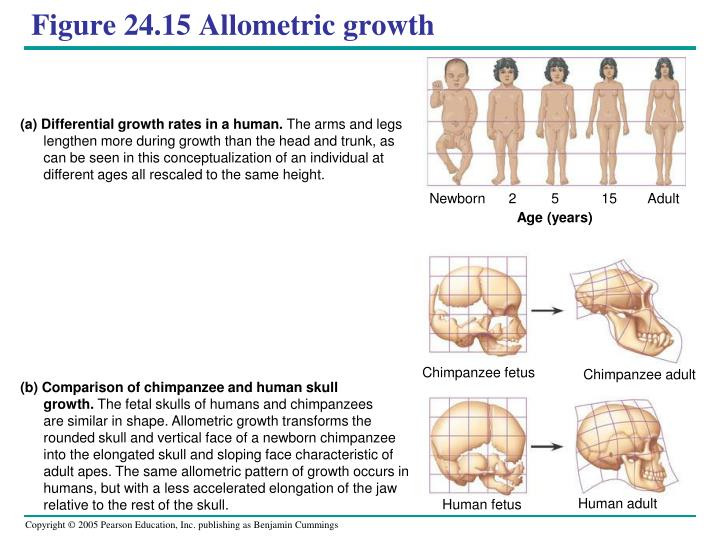 (a) Differential growth rates in a human.