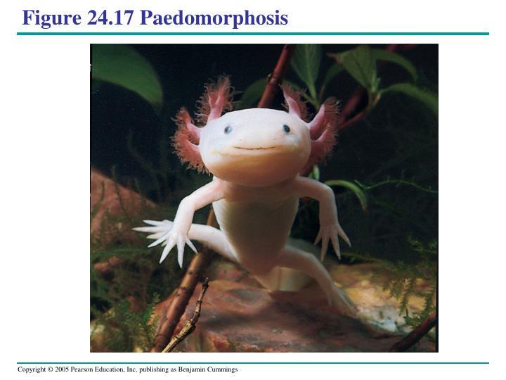 Figure 24.17 Paedomorphosis