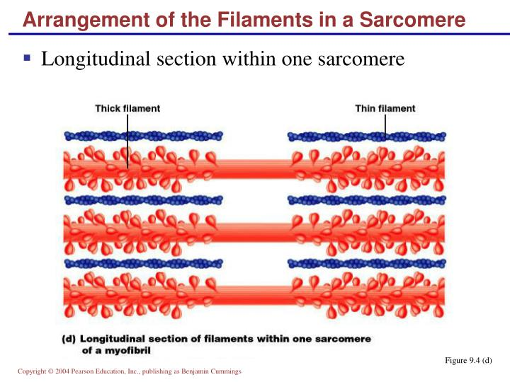 Arrangement of the Filaments in a Sarcomere