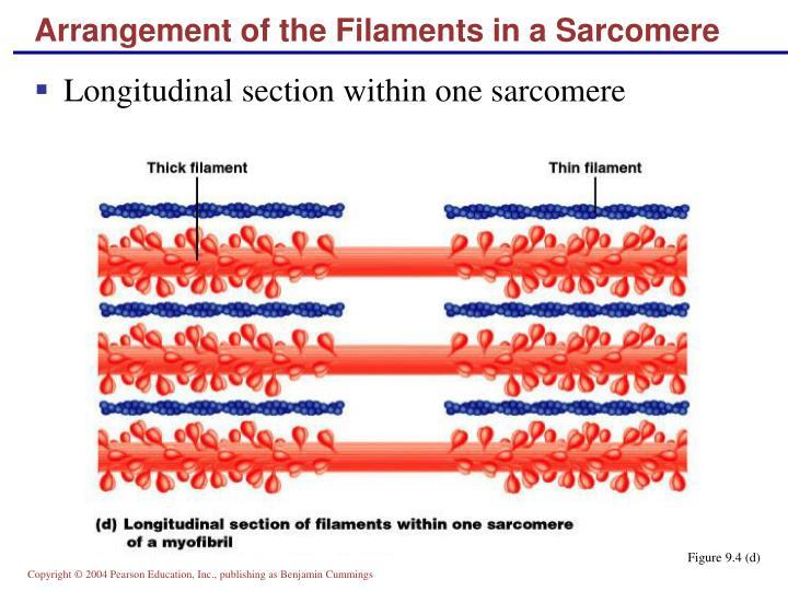 Arrangement of the Filaments in a Sarcomere