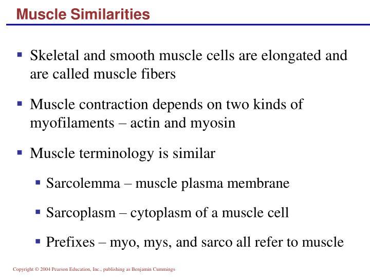 Muscle Similarities